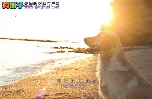 cku认证 犬舍直销 半价精品狗狗 可上门 纯种金毛
