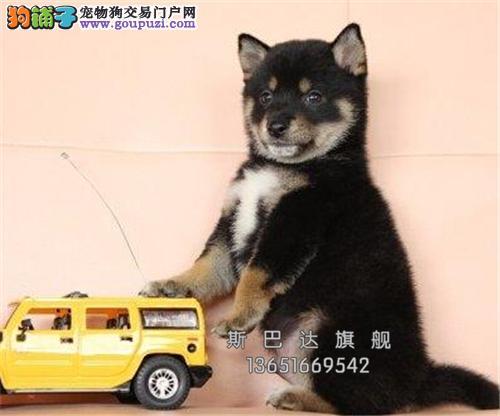 cku认证 犬舍直销 半价精品狗狗 可上门 纯种柴犬