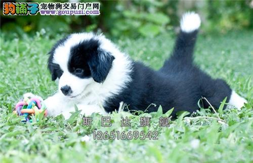 上海犬舍边牧顶级帅气小找新家全国发货