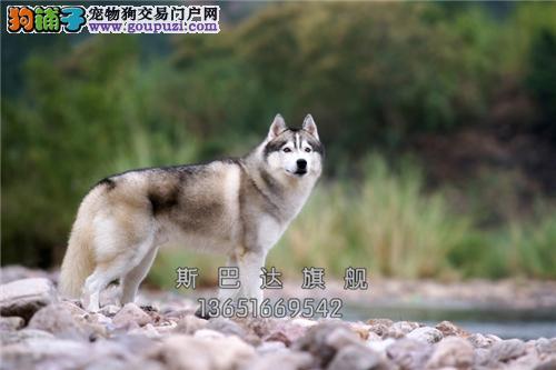 上海犬舍哈士奇三个月雪橇犬全国发货
