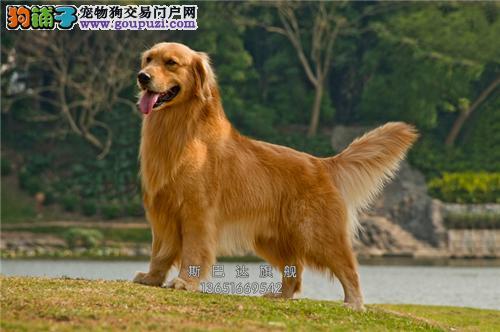 cku认证出售 金毛犬 保质量包纯种当日下单半价