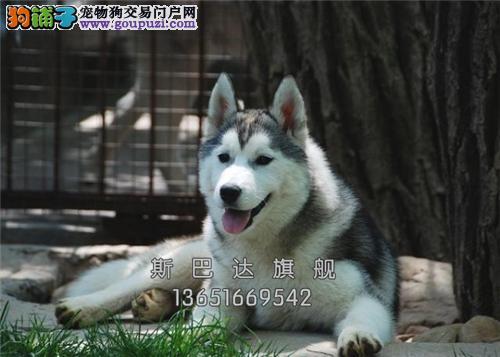 上海犬舍哈士奇极品顶级狗狗全国发货
