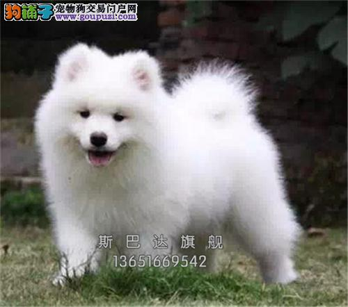 诚信犬舍出售 纯萨摩耶犬 高品质 送货上门