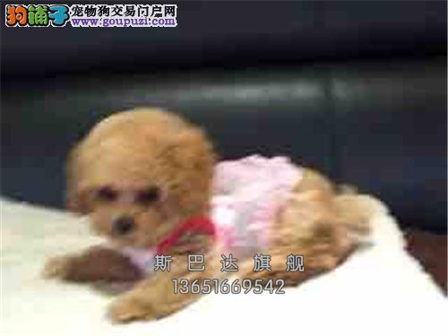上海便宜出售泰迪新生好养迷你全国发货