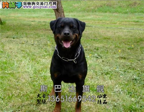 上海出售罗威纳漂亮出售护卫犬全国发货