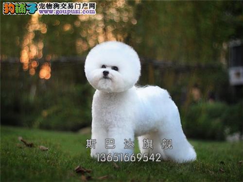 上海犬舍比熊棉花糖可视频挑选全国发货