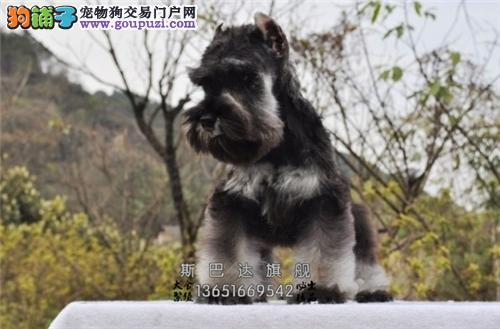 犬业出售 纯正 雪纳瑞 高品质 送货上门