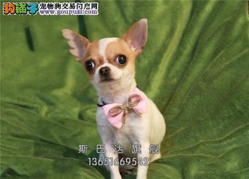 上海吉娃娃听话骨量足大头全国发货