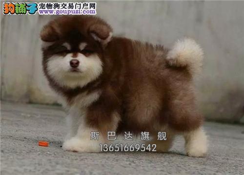 上海犬舍阿拉斯加帅气聪明粘人全国发货