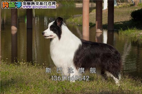 上海家养边牧帅气陨石色公母均有全国发货