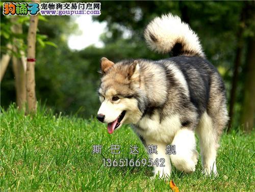 上海阿拉斯加小狗狗包纯种双血统全国发货