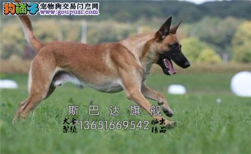 上海马犬出售黑红脸下单有礼全国发货