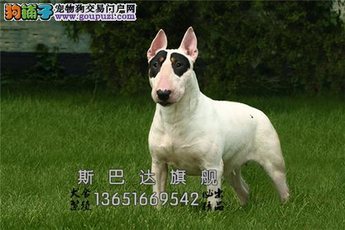 上海家养牛头梗漂亮小全国发货