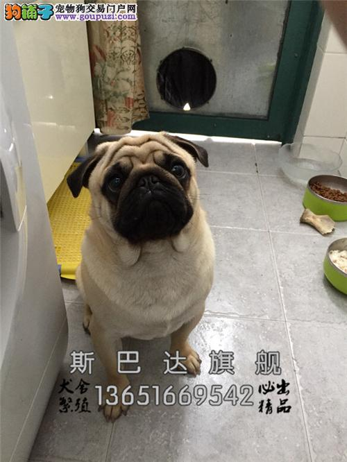 上海巴哥专业繁殖憨憨全国发货