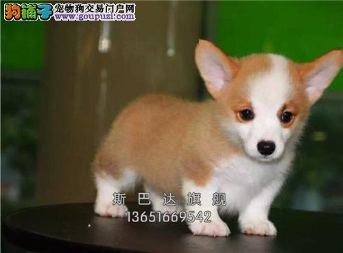 上海家养柯基肥臀找新家公母均有全国发货