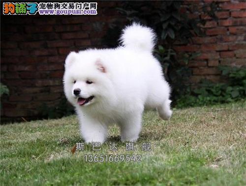 上海犬舍萨摩耶高品质阳光犬全国发货