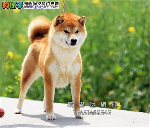 上海哪里有柴犬高品质日系狗狗全国发货