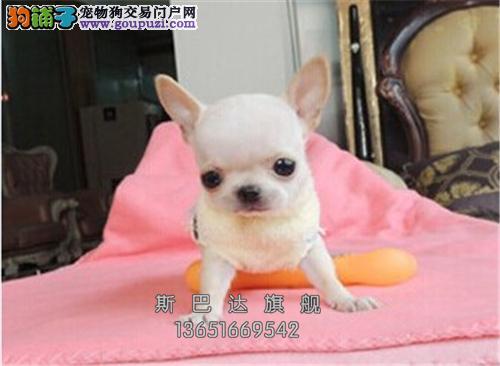 上海吉娃娃精品极品大眼带证书全国发货