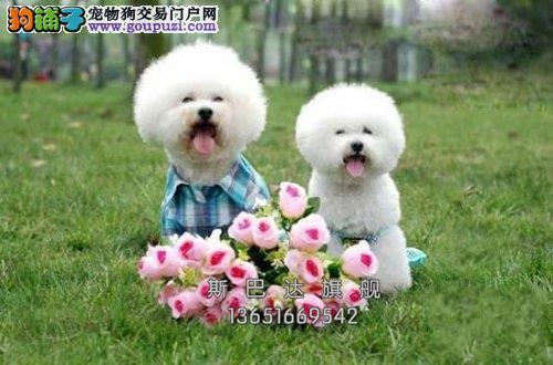 上海比熊乖巧极品法国犬全国发货