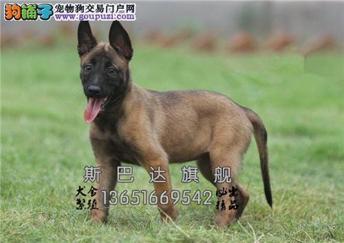 上海出售马犬新生赛级帅气包纯种全国发货