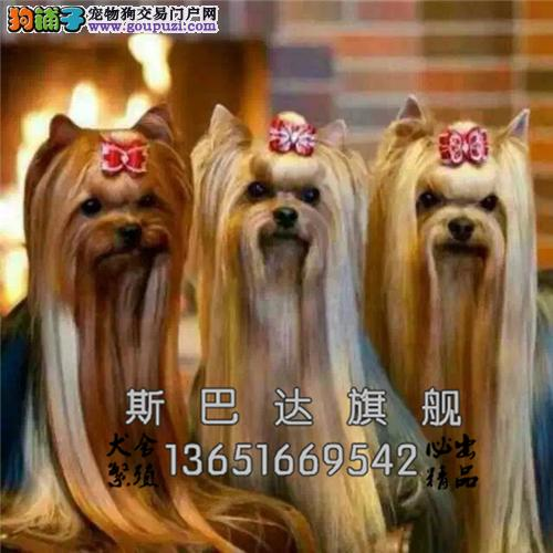 上海犬舍约克夏听话可爱幼犬待售全国发货