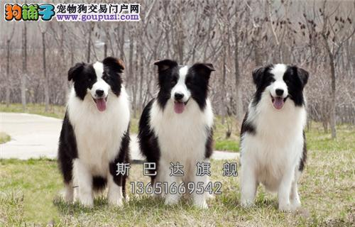 上海专业繁殖边牧帅气可爱送用品全国发货