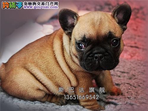 上海法牛乖巧憨厚可视频挑选全国发货