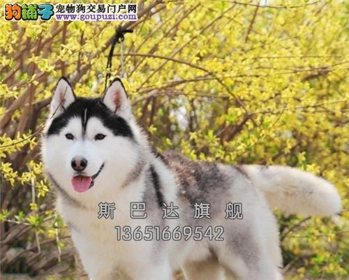 上海哈士奇听话蓝眼血统纯正全国发货