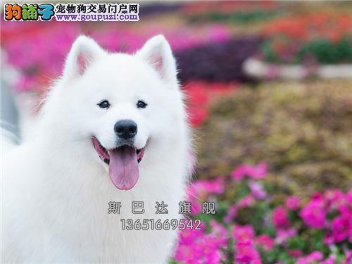 上海哪里有萨摩耶可爱阳光乖巧全国发货