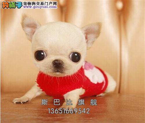上海吉娃娃精品纯种小犬包纯种全国发货