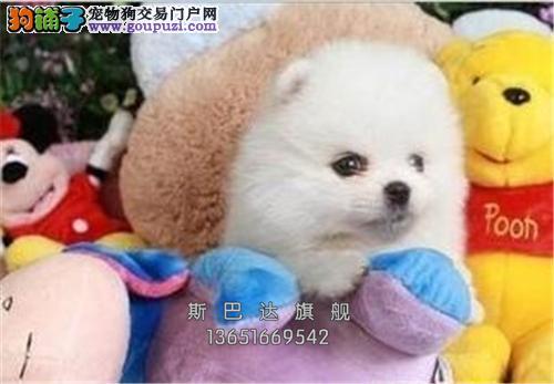 上海博美活泼可爱好养^_^犬全国发货