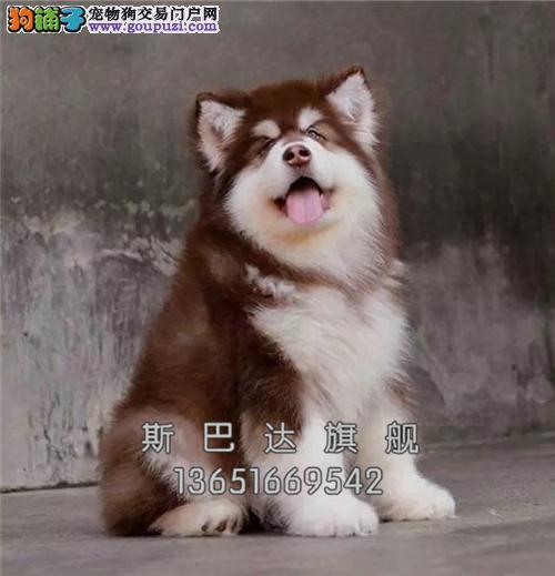 上海犬舍高加索小双血统全国发货