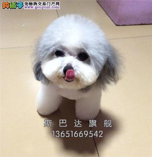 上海出售泰迪极品健康熊全国发货