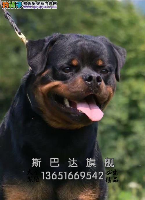 上海罗威纳出售自家养犬驱虫已做全国发货