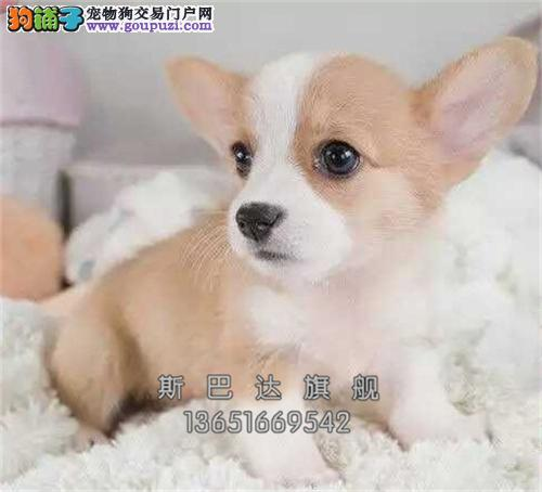 上海柯基高品相高品质血统纯正全国发货