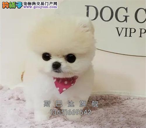 上海博美袖珍狗狗驱虫已做全国发货