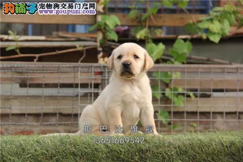 上海出售拉布拉多纯种赛级保健康全国发货