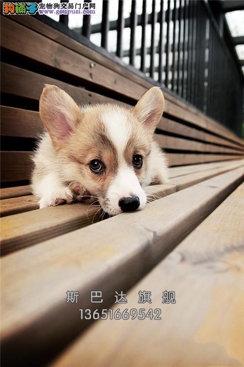 四川出售柯基新生聪明肥臀幼犬全国发货