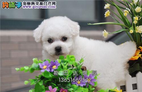 四川比熊高品相赛级小犬驱虫已做全国发货