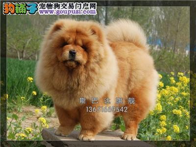 犬舍直销纯种松狮 可上门 当日下单半价