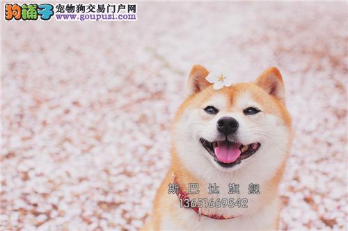 四川柴犬漂亮赛级黑鼻子带证书全国发货