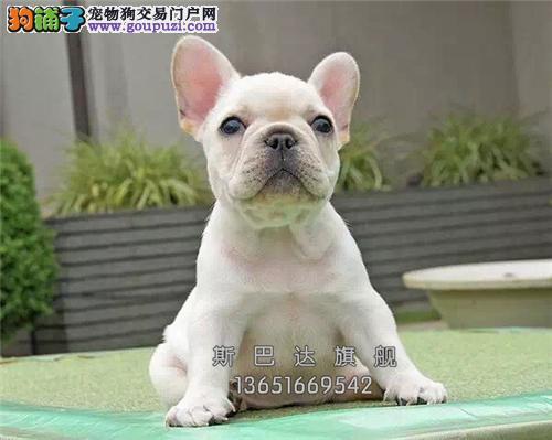 四川哪里有法牛新生幼犬幼犬待售全国发货