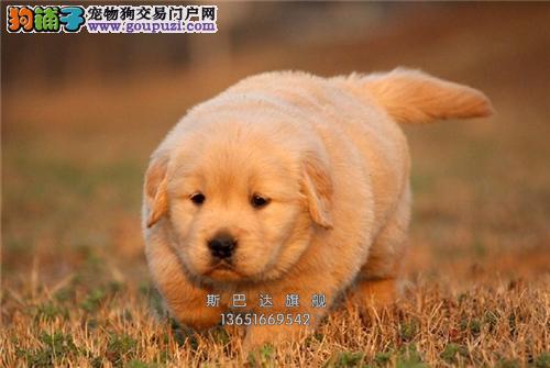 犬舍直销纯种金毛 可上门 当日下单半价