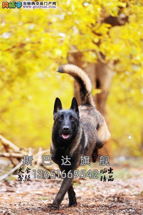 四川马犬自家养精品三个月全国发货