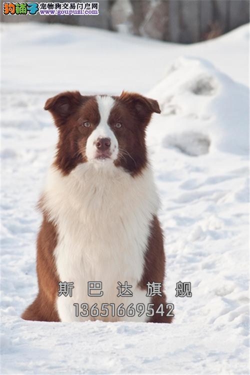 四川家养边牧帅气陨石色狗狗全国发货