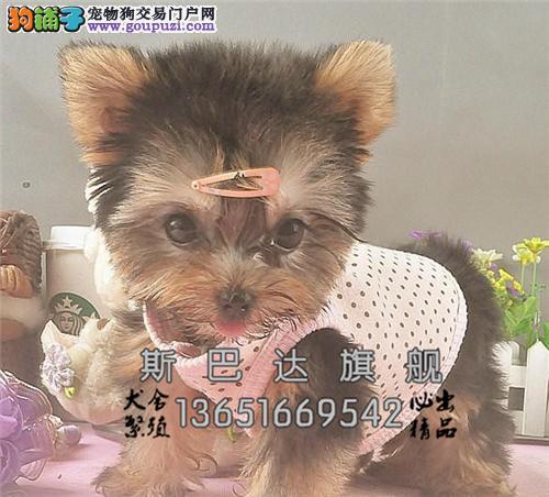 四川约克夏漂亮可爱犬可视频挑选全国发货