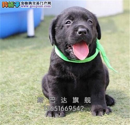 四川拉布拉多专业繁殖听话小犬全国发货