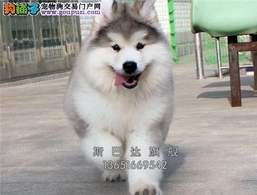 犬舍直销纯种 阿拉斯加 可上门 当日下单半价