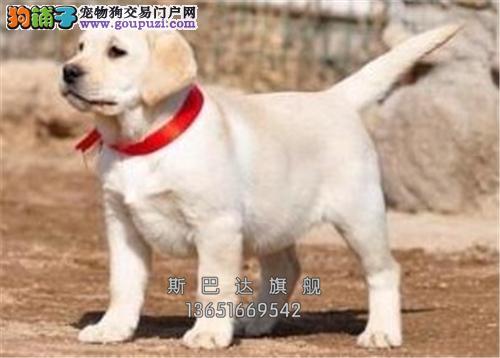 养殖场出售拉布拉多犬~ 可上门 疫苗驱虫已做