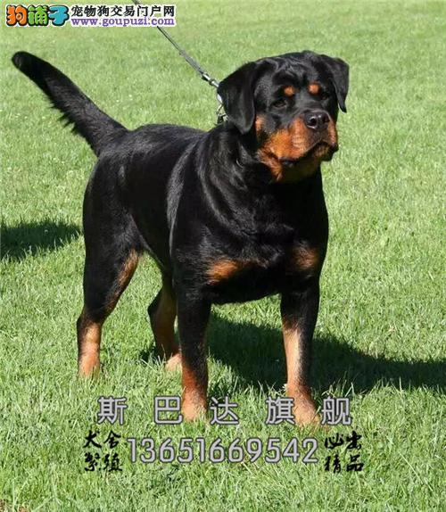 四川最大犬舍罗威纳顶级公母均有全国发货